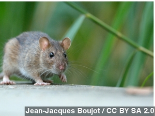 Gardens next to Louvre overrun with rats