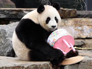 Panda: Will fake pregnancy for food