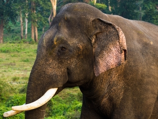 Why are elephants wandering into Indian towns?
