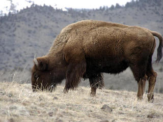 Volunteer bison shooters needed in Grand Canyon