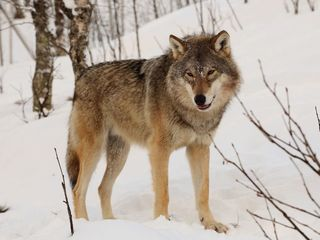 Norway plans to kill a majority of its wolves