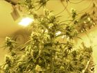 Court: Colo. police can destroy seized marijuana