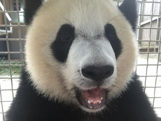 National Zoo baby panda recovering from surgery