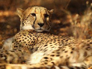 Cheetahs are close to becoming extinct