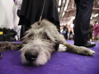 Westminster dog show event to feature cats