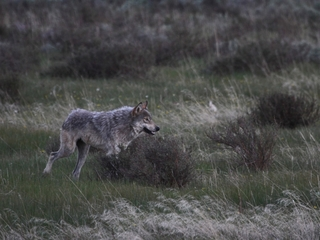Wyoming's wolves could soon be shot on sight