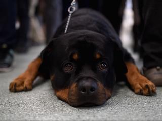 Big breeds top AKC's most popular dogs list