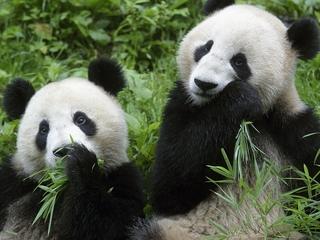 China plans massive panda preserve