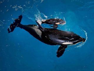 SeaWorld's last baby orca born