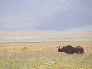 Eastern black rhino has returned to Rwanda