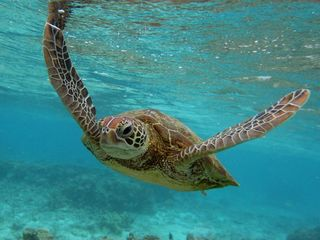 Harmful chemicals found in Australia sea turtles