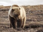 Yellowstone grizzlies lose federal protection