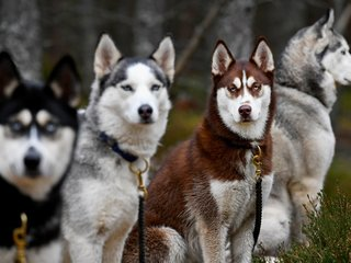 TV 'direwolves' might lead to real homeless dogs