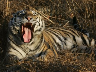 Kazakhstan reintroduces tigers to the country