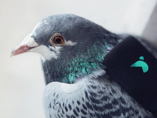 Pigeons monitor London's air pollution problem