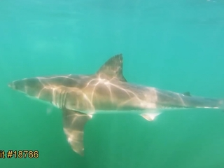 Mass. beaches close due to great white sharks