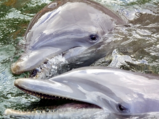 Study: Dolphins have a 'spoken language'