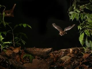 Bats can adapt to listen around noisy humans