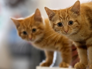 Cat-scratch disease is hospitalizing more people