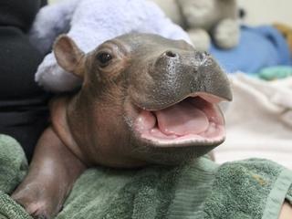 Cincinnati zookeepers caring for preemie hippo