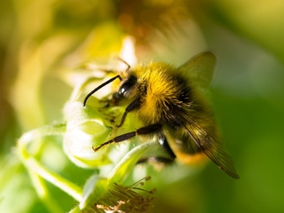 Longmont to protect bees and pollinators