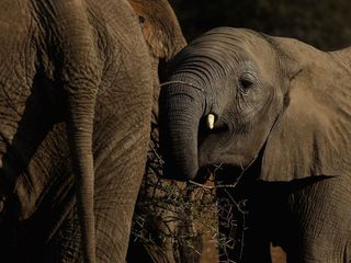 Wild elephants might only sleep two hours a day