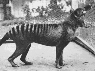 Sightings of extinct Tasmanian tiger rumored