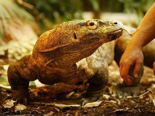 Komodo dragon blood may help fight superbugs
