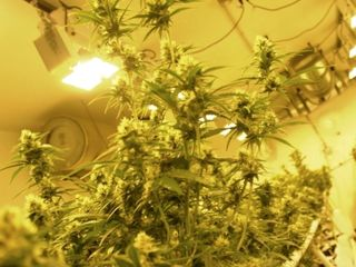 DOJ not allowed to go after medical marijuana