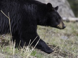 Hunter baits might be large part of bears' diets
