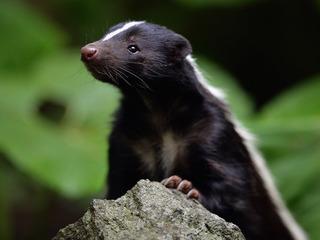 Weld County dealing with rabid skunks