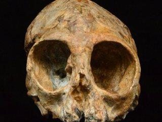 13-million-year-old skull may fill evolution gap