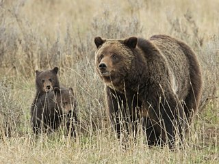 Zinke sued over Yellowstone grizzly bears