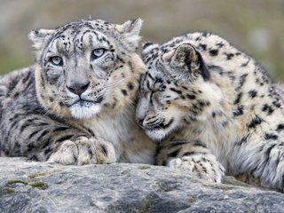 Snow leopards not endangered anymore