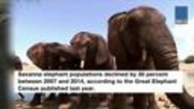 Trump lifts ban on importing heads of hunted elephants