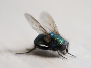 Flies carry hundreds of species of bacteria