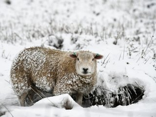 Sheep-human hybrid embryo may help grow organs