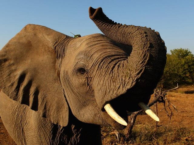 Trump administration withdraws ban on elephant trophy permits