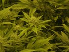 Colo. marijuana sales exceeded $1B through Aug