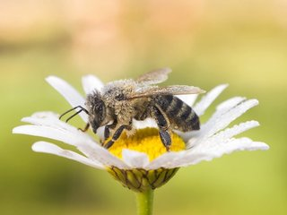 Bees' endangered status is often hard to define