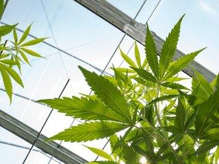 NY allows medical marijuana instead of opioids
