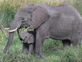 Elephants' special genes prevent cancer